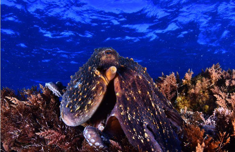 Octopus vulgaris angular