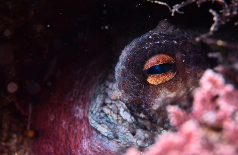 Ojo octopus vulgaris