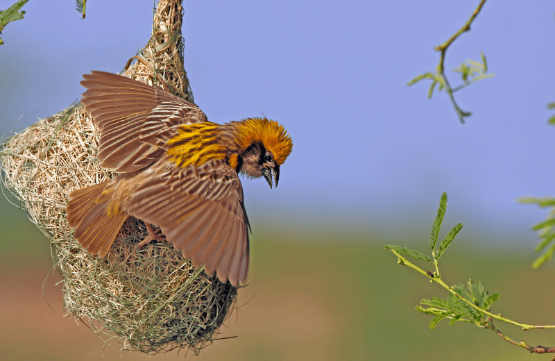 baya weaver-wildilfe-india --- Expires on 19-04-2023