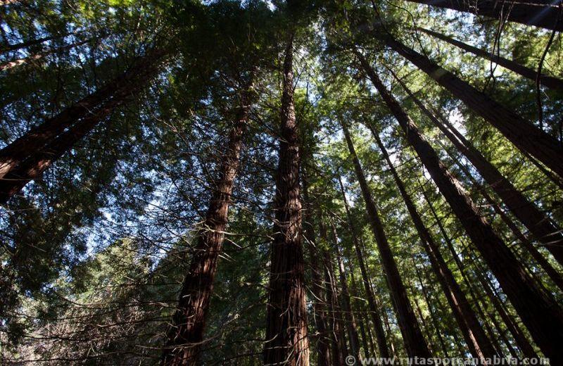 bosque_secuoyas