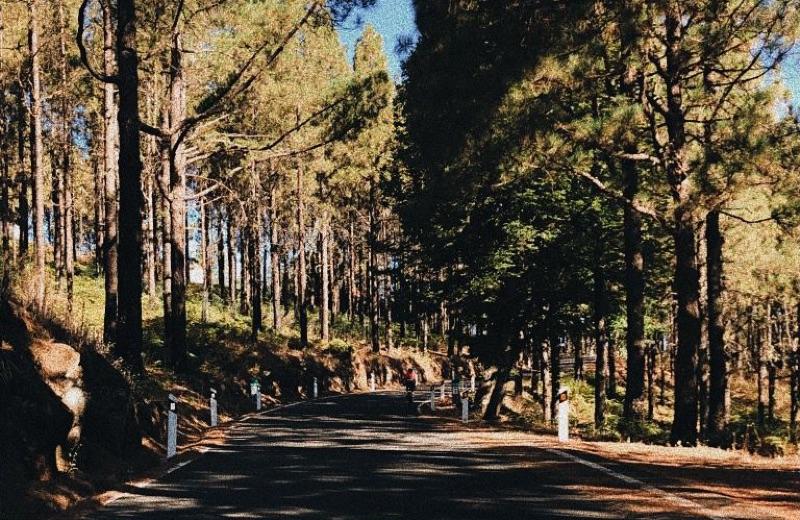 Pinar en la zona de Cruz Chica (Tejeda)