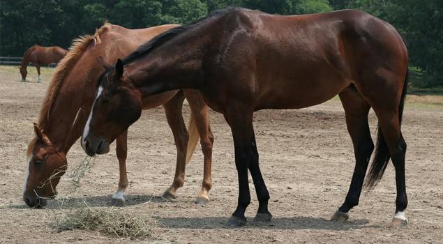 esquilado-del-caballo-pasturando-equitacion