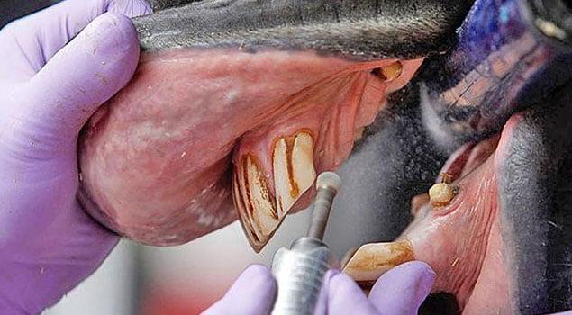 odontología equina